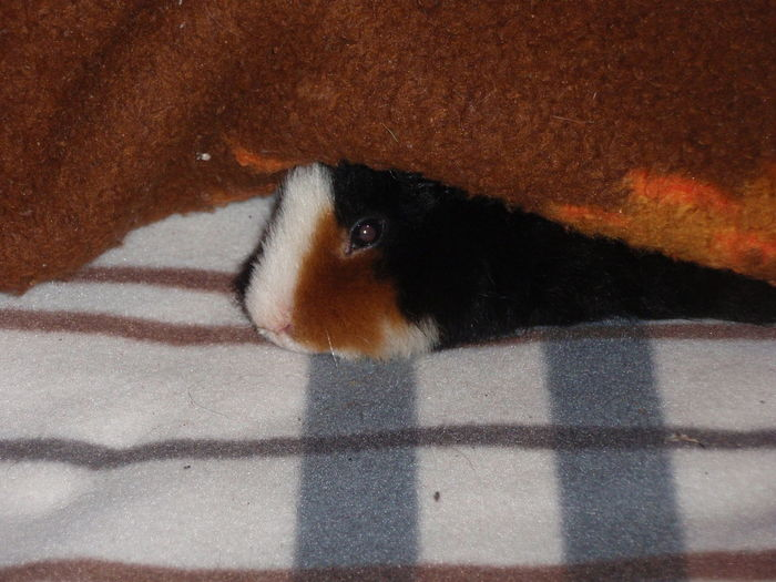 Relaxing Animal Themes Close-up Domestic Animals Guineapig Hiding Indoors  No People One Animal Pets Pet Portraits