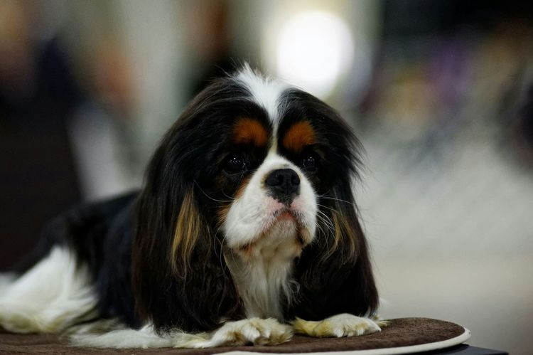 I Love the expression Cavalier King Charles Spaniel Tricolor Enjoying Life Ckcs Dog
