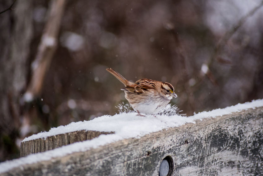 Making a Splash! Beautiful Eating Maryland Animal Wildlife Animals In The Wild Bird Close-up Cold Temperature Cufotos CufotosDOTcom Day Firendly Cow Jumping Nature No People One Animal Outdoors Playing Snow Snowing Sparrow Weather Winter