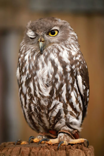 Close-up portrait of owl perching on tree stump
