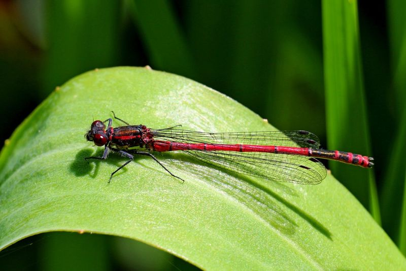 Large Red Damselfly Animal Themes One Animal Invertebrate Animal Insect Animal Wildlife Animals In The Wild Green Color Plant Part Leaf Close-up Nature Focus On Foreground Plant No People Day Animal Wing Damselfly Outdoors Zoology Blade Of Grass
