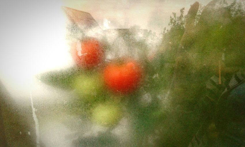 Colour Of Life Tomattoes Holidays In The Garden Rainy Morning Guess What!