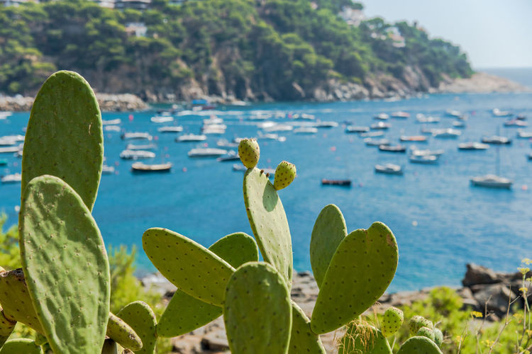 Cactus Coastline Costa Brava Green Color Holiday Holidays Mediterranean  Mediterranean Sea Nature Nature Photography Plant Summer Views Summertime Tranquility Beauty In Nature Blue Boat Coast Focus On Foreground Llafranc Nature_collection Sea Seascape Seaside Summer