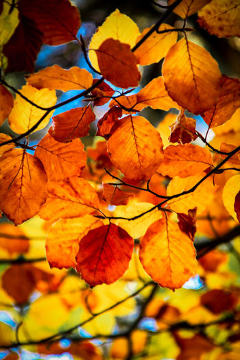 Autumn Nature Orange Color Leaf Change Beauty In Nature Close-up Vibrant Color Growth Outdoors No People Leaves Tree Backgrounds Fragility Day Freshness Plant EyeEm Gallery Check This Out Monte Abantos Madrid Hayedo Beech Exploring Style