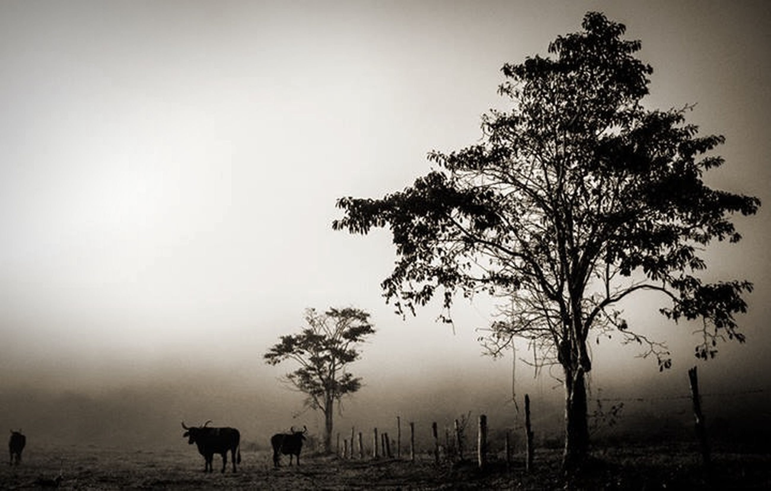 animal themes, mammal, domestic animals, fog, tree, horse, field, one animal, landscape, livestock, tranquility, nature, copy space, tranquil scene, foggy, beauty in nature, herbivorous, standing, two animals