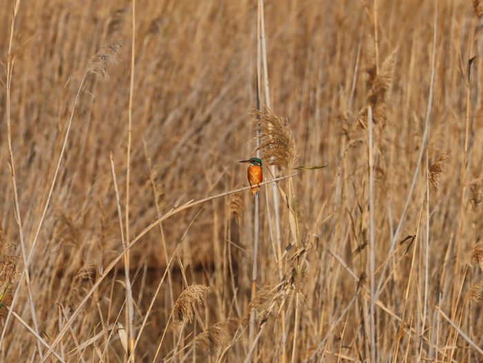 Bird perching on wheat field