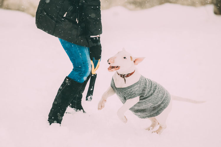 Funny Young English Bull Terrier Bullterrier Puppy Dog Playing Outdoor In Snow, Winter Season. Playful Pet Outdoors. Snow Pets Dog Purebred Breed Pedigree Winter White Playing Small Pet Owner Cold Animal Funny Young English Bull Terrier Bullterrier Puppy