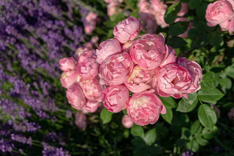 Flowering Plant Flower Beauty In Nature Plant Vulnerability  Freshness Fragility Pink Color Petal Growth Close-up Nature Inflorescence Flower Head No People Focus On Foreground Day Selective Focus Outdoors Botany Springtime Purple Lilac Bunch Of Flowers
