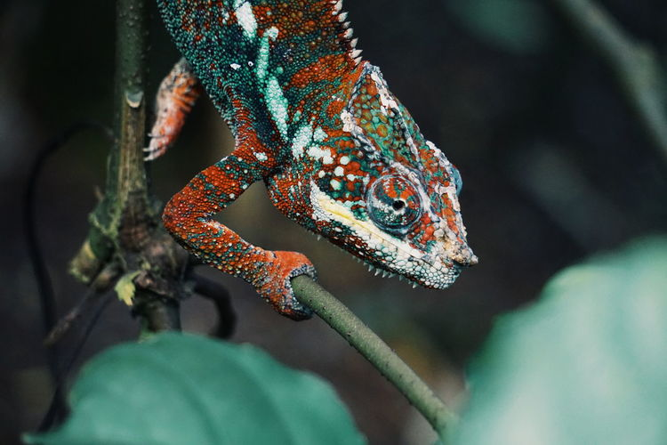 Chameleon Zoology Zoo Chameleon Cameleon Reptile Animal Themes Animal One Animal Animal Wildlife Reptile Animals In The Wild Lizard Vertebrate Chameleon Close-up No People Animal Body Part Focus On Foreground Green Color Outdoors