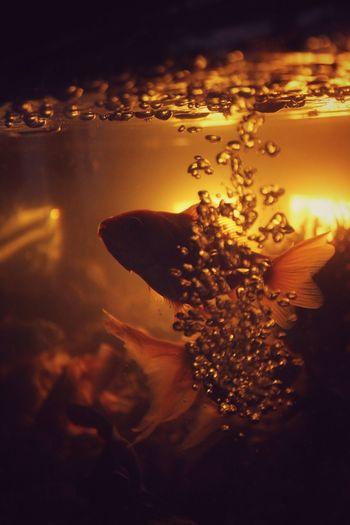 Fish Aquarium Golden Goldfish Water Nature Outdoors Motion Sea No People Sunset Underwater Orange Color Close-up Splashing Bubble