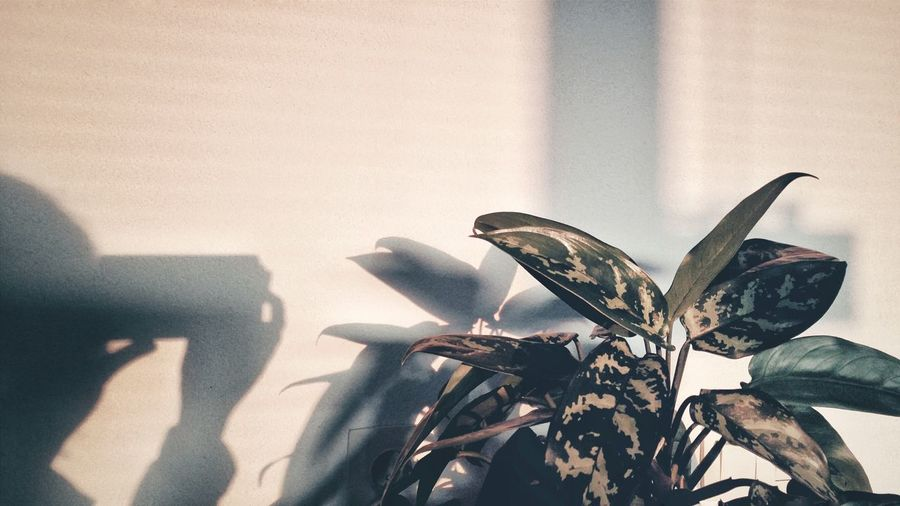 Close-up of plant with person shadow against wall