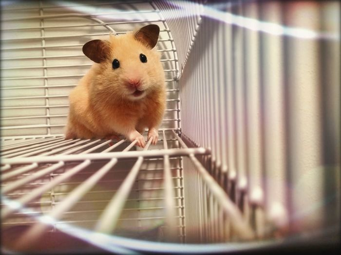 Portrait hamster in cage
