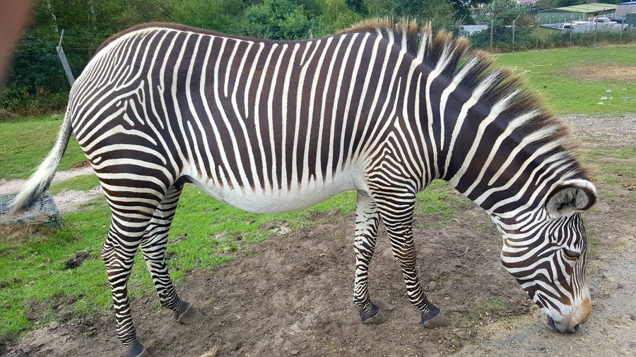 Zebra in Safari Park🐎🐎🐎 Zebra Stripes Zebra Photography Culture Photography Photo Beauty In Nature Photography Animals In The Wild Safari Animals Safari Photography Themes Zoology Zoo Animal Wildlife Photographing Zebra Animal Markings Safari Animals Striped Grass Growing Natural Pattern Field Leaves