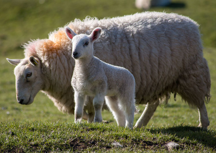Side view of a sheep with lamb