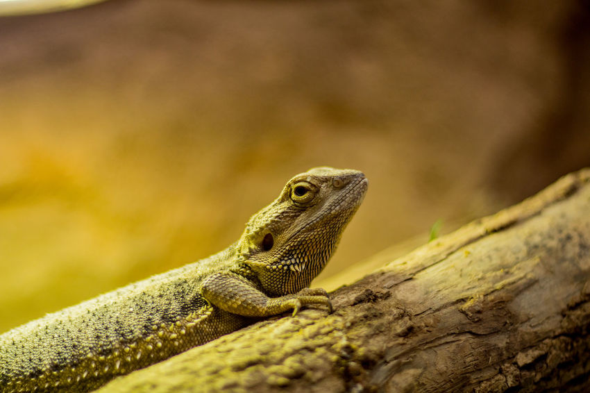Animal Themes Animal Wildlife Animals In The Wild Bearded Dragon Close-up Day Focus On Foreground Lizard Nature No People One Animal Outdoors Reptile Tree