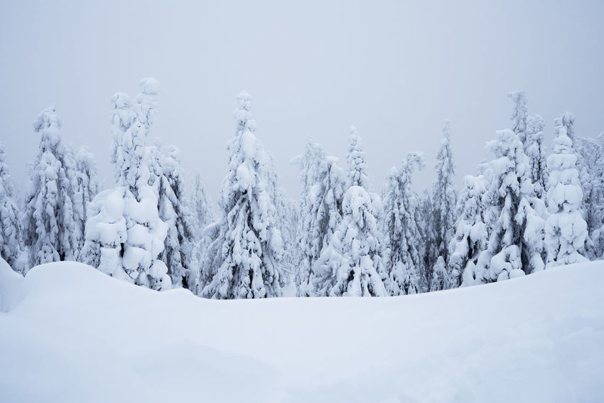 Scenic view of snow covered spruce trees against cloudy sky in Koli National Park, Finland Koli Finland Boreal Taiga Boreal Forest Snow Winter Cold Temperature Frozen Nature Tree Mountain Tranquil Scene White Color Forest No People Beauty In Nature Landscape Polar Climate Pinaceae Scenics Outdoors Shades Of Winter
