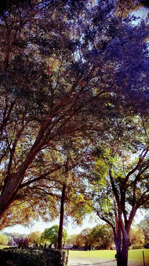 NoEditNoFilter Golfcoursesofeyeem Sunthrutrees Beauty In Ordinary Things Illuminated Triksaphotography Greatphotosofeyeem Low Angle View Backgrounds Morninginflorida Day Just Amazing Nofilterneeded Branch No People Growth Tree Social Issues Tranquility Nature Scenics Beauty In Nature Outdoors Purpleleaves Beauty In Nature