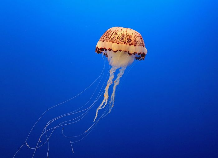 Blue Deep Floating Jellyfish Nature Sea Sea Life Seascape