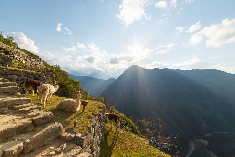 Llamas at old ruins against sky