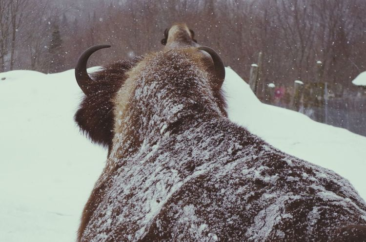 bison sous la neige Animal Themes Nature Snow Cold Temperature Winter Animal