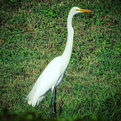 White Crane Bird Crane Whitecrane Whitebird Grass Fortmyers