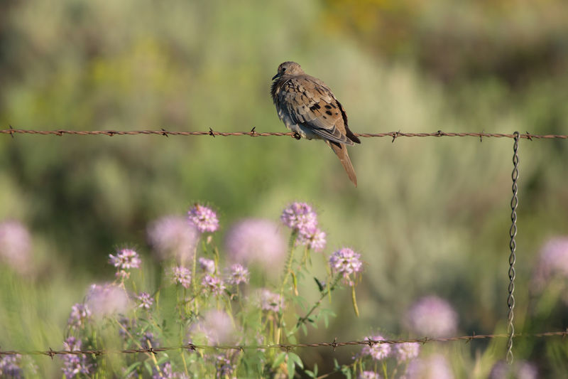 Mourning dove & wildflowers Animal Wildlife Animals In The Wild Flower Bird Animal Themes One Animal Nature Animal Perching Songbird  No People Wildflower Beauty In Nature Animals Morning Dove Dove Love Doves Barbed Wire Rocky Mountain Bee Flower Birds Cleome