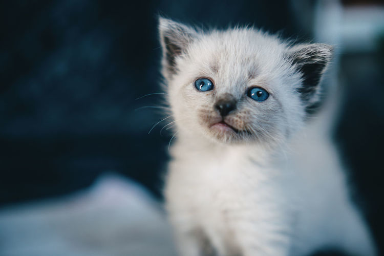 Portrait of small white kitten with blue eyes.