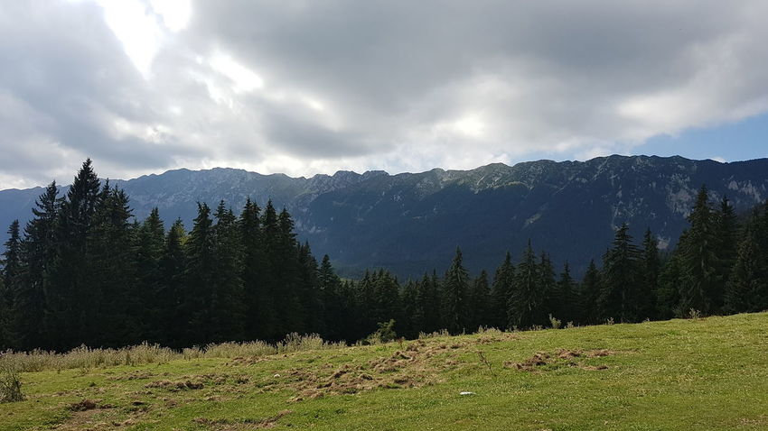 Piatra Craiului Mountains Pine Tree Mountain Nature Pinaceae Tree Landscape Forest Beauty In Nature No People Grass Outdoors Scenics WoodLand Day Snow Vacations Sky