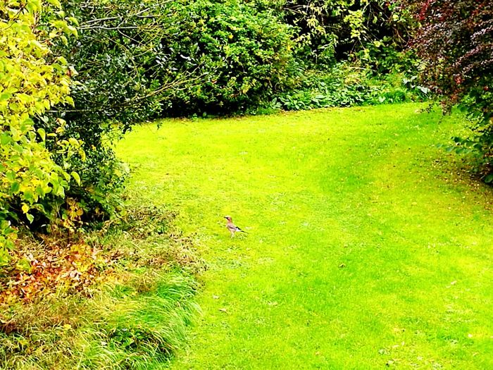 Grass Green Color Nature Growth Day Water Outdoors Beauty In Nature No People Tranquility Tree Animal Themes Bird Jay Jay On The Lawn Jay In Autumn Jay Bird Shrub Borders Garden Garden Shrubs