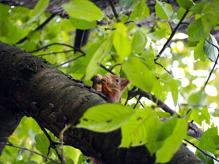 Squirrel Animal Themes Animals In The Wild Branch Close-up Day Green Color Growth Leaf Low Angle View Mammal Nature No People One Animal Outdoors Squirrel Tree