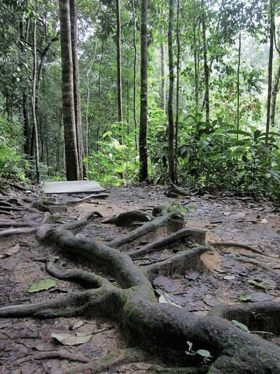 These Giant Buttress Roots help anchor tall Raintrees to the Jungle floor. Undergrowth Tropical Forest Walking Trail Gnarled Roots Tropics Decaying Leaves Nutrient Rich