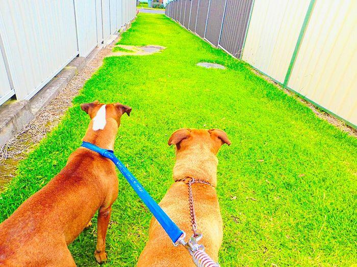 Walking my pups Lake Macquarie My Pittys❤ Love Pitbulls Walking My Dogs