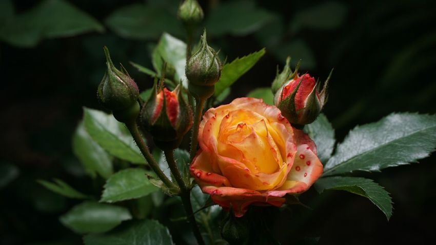 Rose - Flower красота роза🌹🌹🌹 роза Природа цветы