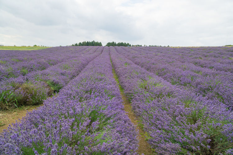 Scenic view of purple flowering plants on field against sky