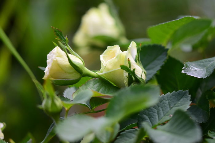 White Green Flowering Plants Flowering Rose Bush Thornes Miniature White Rose No People Outdoors Beauty And Nature Close Up Photography Close Up White Rosebud White Rose Bush Leaf Close-up Plant Green Color Animal Themes
