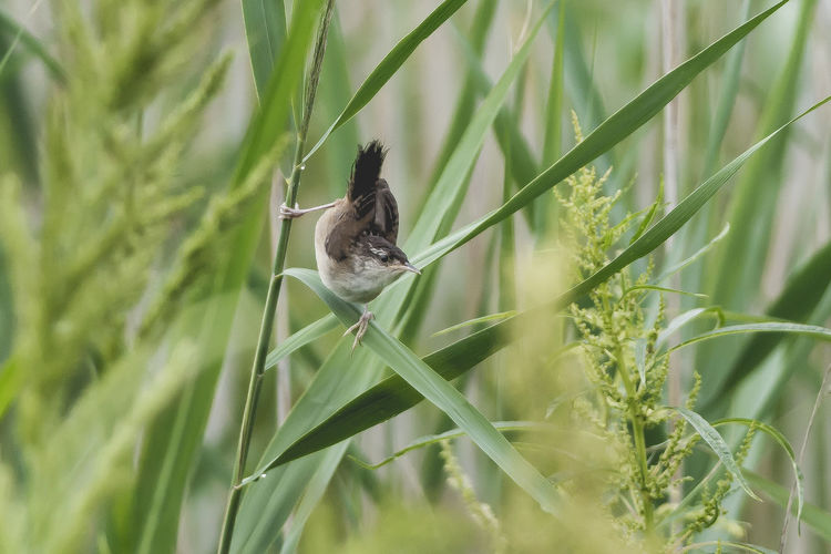 Grasshopper Sparrow Grasshopper Sparrow Animal Animal Themes Animal Wildlife Animals In The Wild Beauty In Nature Bird Blade Of Grass Day Grass Green Color Growth Land Mammal Nature No People One Animal Outdoors Plant Plant Part Selective Focus Vertebrate