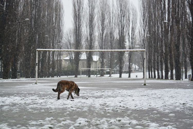 Field invasion Snow Winter Cold Temperature Mammal Animal Themes Animal Tree One Animal Plant Nature Domestic Animals Vertebrate No People Field Animal Wildlife Snowing Outdoors Blizzard Extreme Weather Football Goal Football Football Field Streetphotography Dog EyeEmNewHere