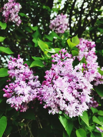 Flower Flowering Plant Plant Fragility Vulnerability  Freshness Beauty In Nature Lilac Close-up Nature Petal Purple No People Outdoors Plant Part