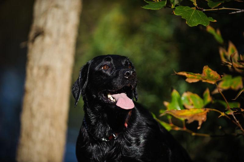 Black labrador retriever looking away
