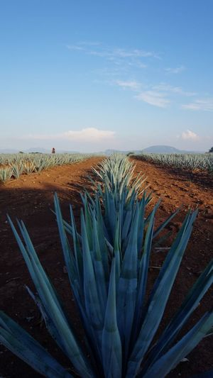 Green Color Order Landscape Lined Up Agave Plant Agave Nature Beauty In Nature Growth Sky Day Plant Field No People Tranquility Outdoors Scenics