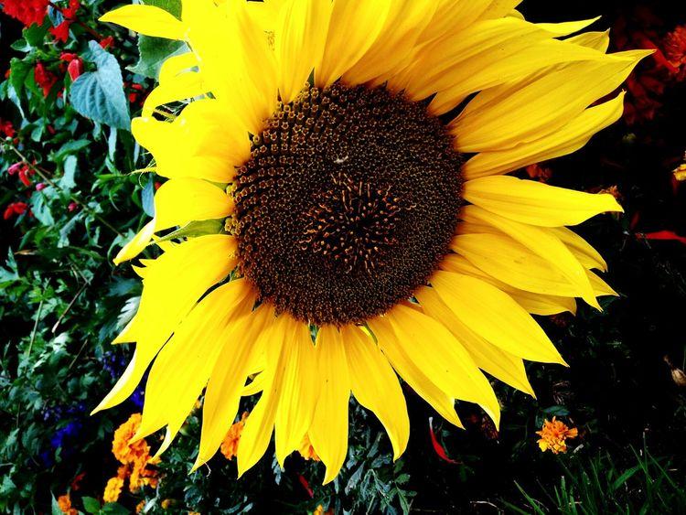 Sun Flower ... Taking Photos Hanging Out Relaxing Flower Shot Hello World I'm Just A Beginner