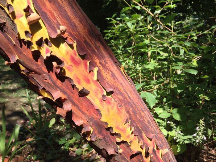 Enjoying The Weekend! Taking Photos Arbutus X Andrachnoides Beautiful Bark