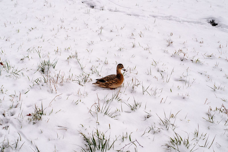 High angle view of female mallard duck on snow covered field