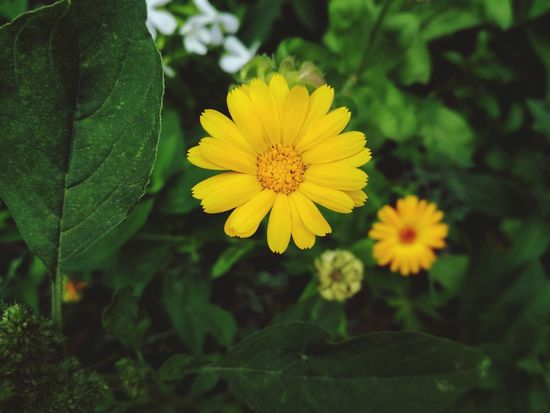 Flower Yellow Plant Nature Selective Focus Flower Head Growth Leaf Close-up Green Color Outdoors Rural Scene Summer Tranquility Field Day Agriculture Sunflower No People Petal