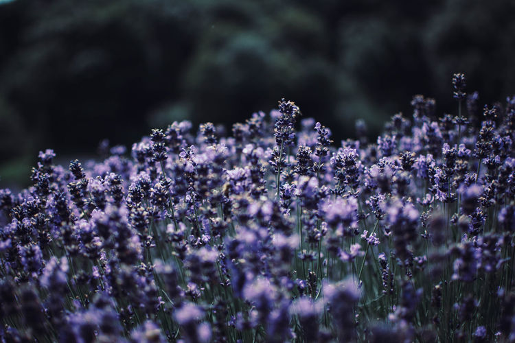 Beauty In Nature Close-up Day Field Flower Flower Head Flowering Plant Fragility Freshness Growth Land Lavender Nature No People Outdoors Plant Purple Selective Focus Springtime Tranquility Vulnerability