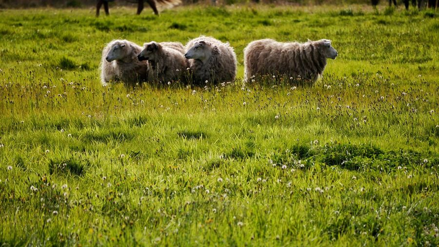 EyeEmNewHere Lifestock Animal Themes Animals In The Wild Day Domestic Animals Field Grass Green Color Growth Mammal Nature No People Outdoors Sheep Pet Portraits