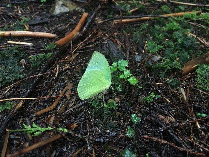 Seba Butterfly