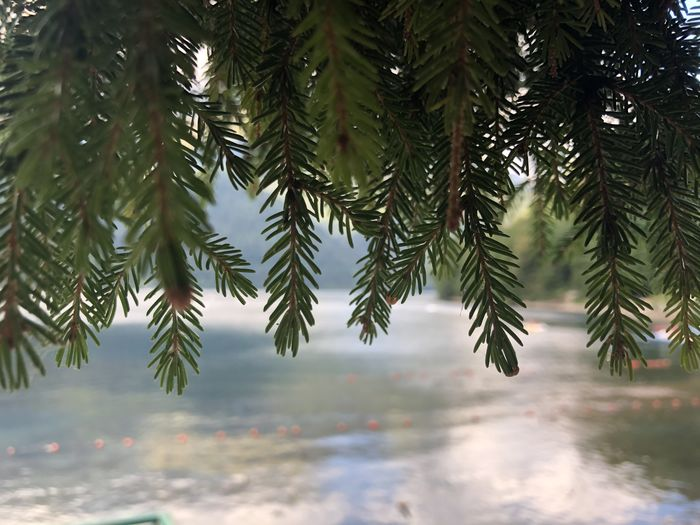 Pine tree branch in water