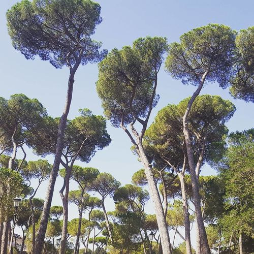Italia Roma Beauty In Nature Branch Clear Sky Close-up Day Garden Photography Growth Italy Nature No People Pin Parasol Sky Tranquility Tree Villa Borghese