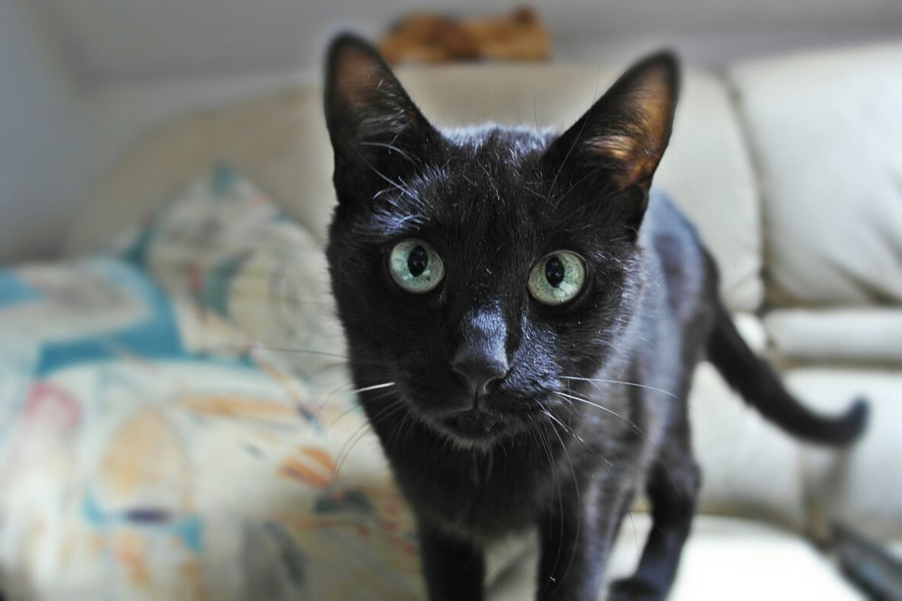 Close-up of a black cat